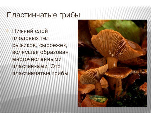 Пластинчатые грибы Нижний слой плодовых тел рыжиков, сыроежек, волнушек образ...