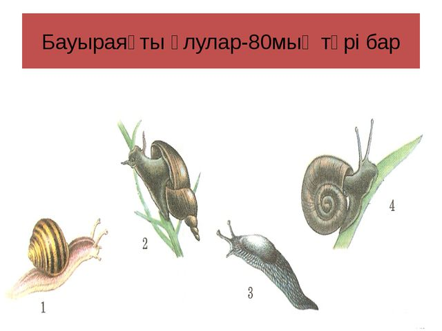 Бауыраяқты ұлулар-80мың түрі бар