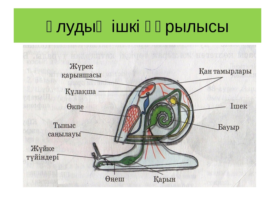 Ұлудың ішкі құрылысы