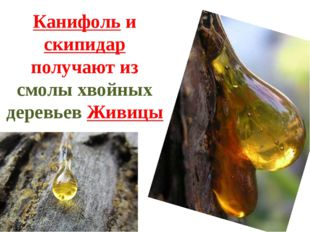 Канифоль и скипидар получают из смолы хвойных деревьев Живицы