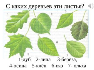 С каких деревьев эти листья? 1-дуб 2-липа 3-берёза, 4-осина 5-клён 6-вяз 7- о