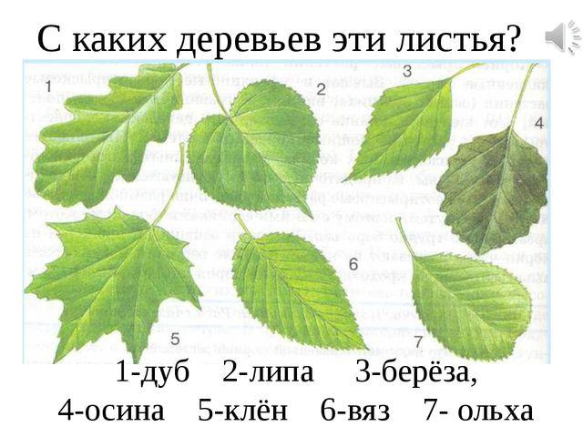 С каких деревьев эти листья? 1-дуб 2-липа 3-берёза, 4-осина 5-клён 6-вяз 7- о...
