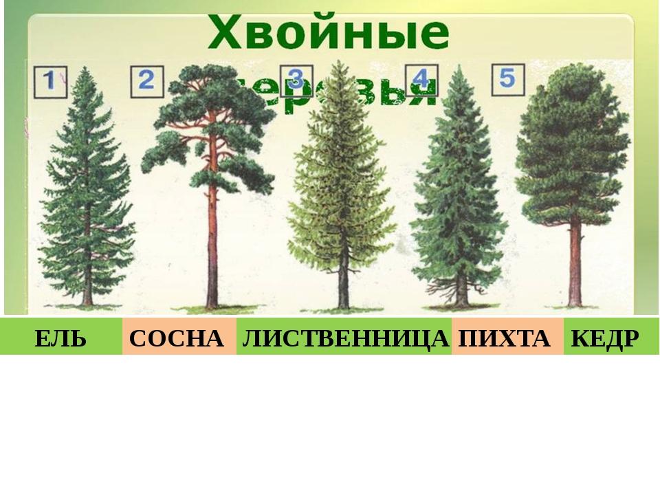 ЕЛЬ СОСНА ЛИСТВЕННИЦА ПИХТА КЕДР