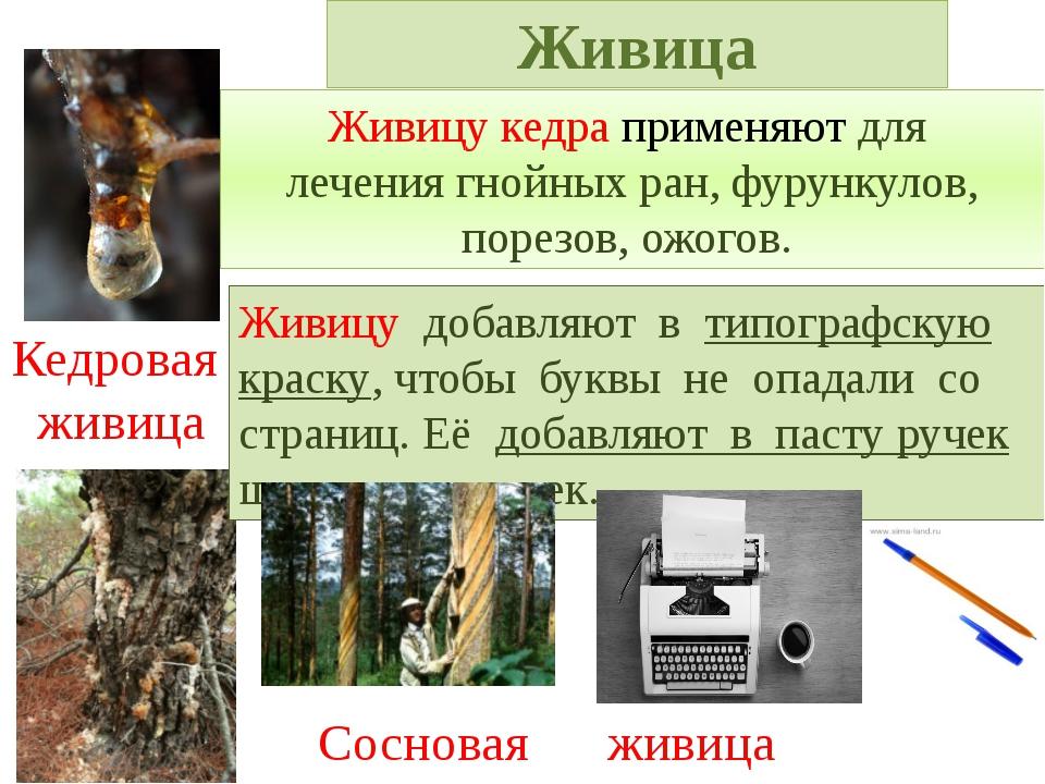 Живицу кедра применяют для лечения гнойных ран, фурункулов, порезов, ожогов....