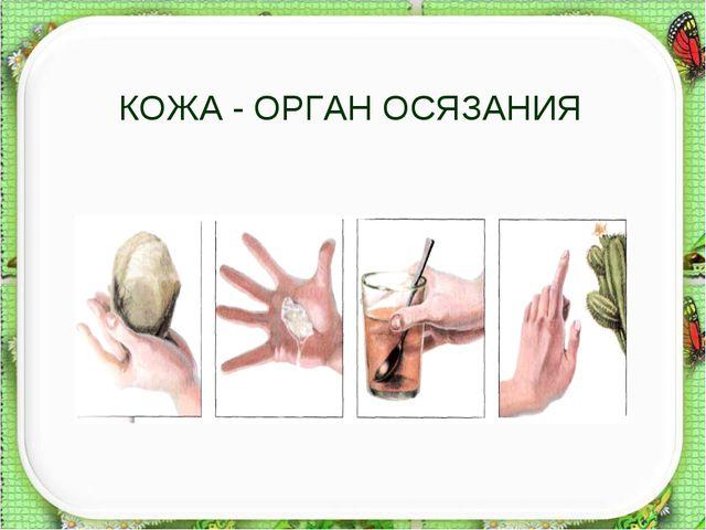 КОЖА - ОРГАН ОСЯЗАНИЯ http://aida.ucoz.ru