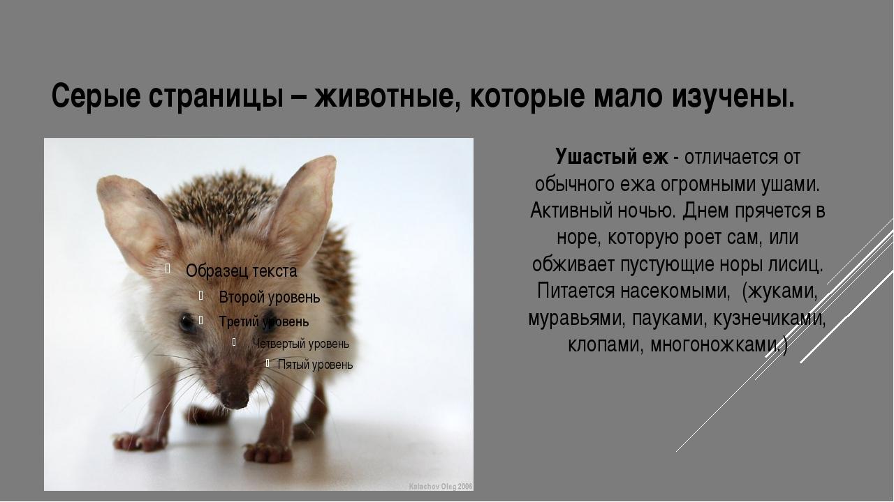 Серые страницы – животные, которые мало изучены. Ушастый еж - отличается от о...