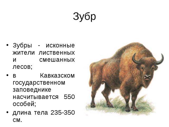 Зубр Зубры - исконные жители лиственных и смешанных лесов; в Кавказском госуд...