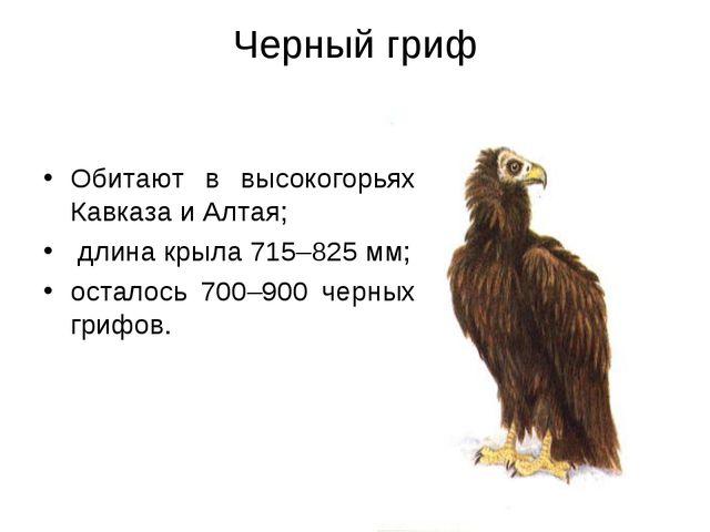 Черный гриф Обитают в высокогорьях Кавказа и Алтая; длина крыла 715–825 мм; о...