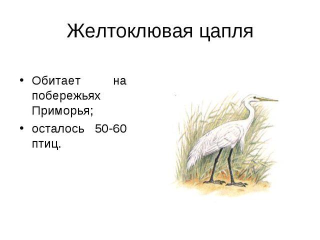 Желтоклювая цапля Обитает на побережьях Приморья; осталось 50-60 птиц.