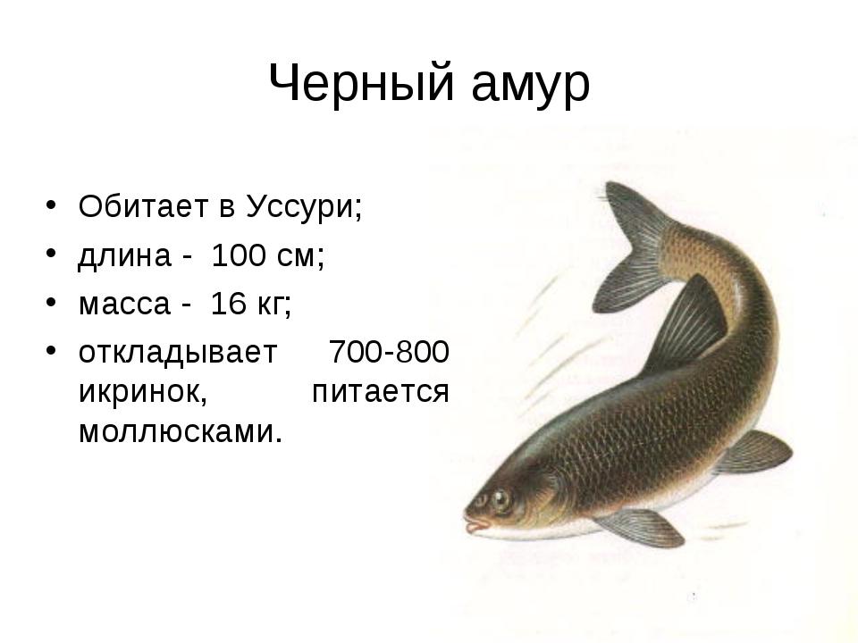 Черный амур Обитает в Уссури; длина - 100 см; масса - 16 кг; откладывает 700-...