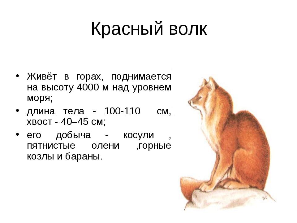 Красный волк Живёт в горах, поднимается на высоту 4000 м над уровнем моря; дл...