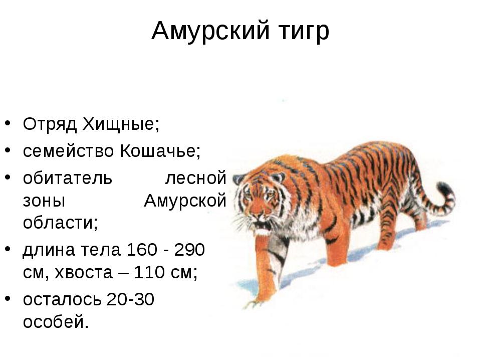 Амурский тигр Отряд Хищные; семейство Кошачье; обитатель лесной зоны Амурской...