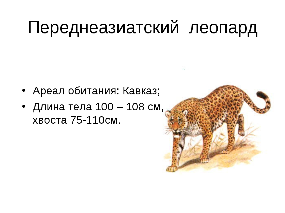 Переднеазиатский леопард Ареал обитания: Кавказ; Длина тела 100 – 108 см, хво...
