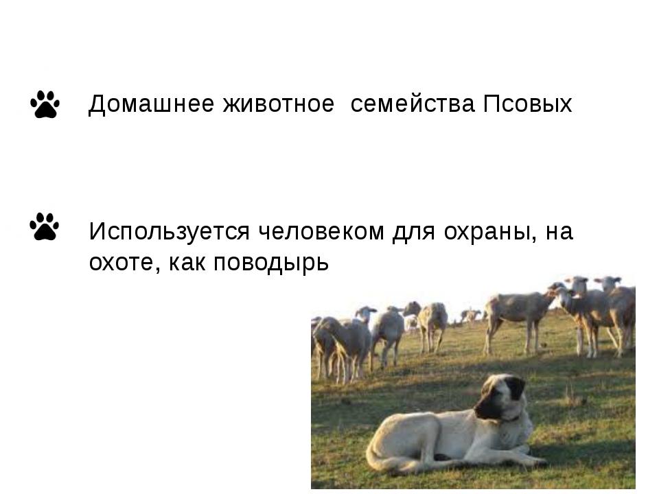Домашнее животное семейства Псовых Используется человеком для охраны, на охот...