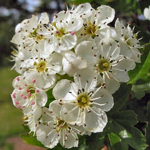 C:\Users\User\Videos\hawthorn_blossom22.jpg