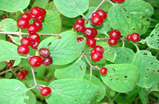 C:\Users\User\Videos\3371666-Honeysuckle-ordinary-or-wood-Lonicera-xylosteum-a-bush-with-red-berries-Stock-Photo.jpg