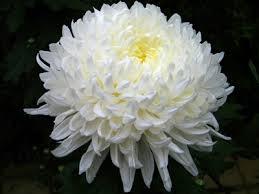 C:\Users\User\Videos\white chrysanthemum.jpg