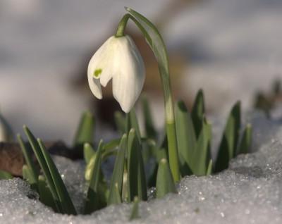 C:\Users\User\Videos\snowdrop-flower-400x318.jpg