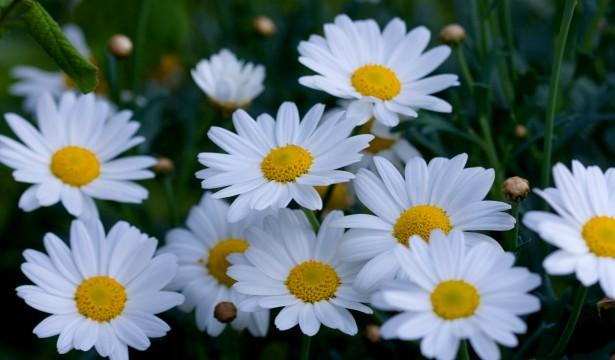 C:\Users\User\Videos\daisy-flowers-macro-image.jpg