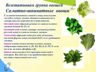 Вегетативная группа овощей Салатно-шпинатные овощи У салатно-шпинатных овощей