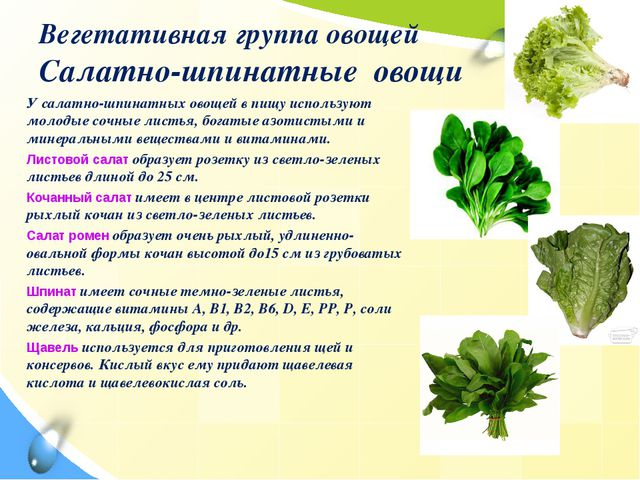 Вегетативная группа овощей Салатно-шпинатные овощи У салатно-шпинатных овощей...