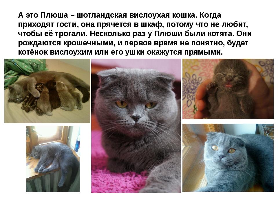 Можно вязать британскую кошку с вислоухим котом