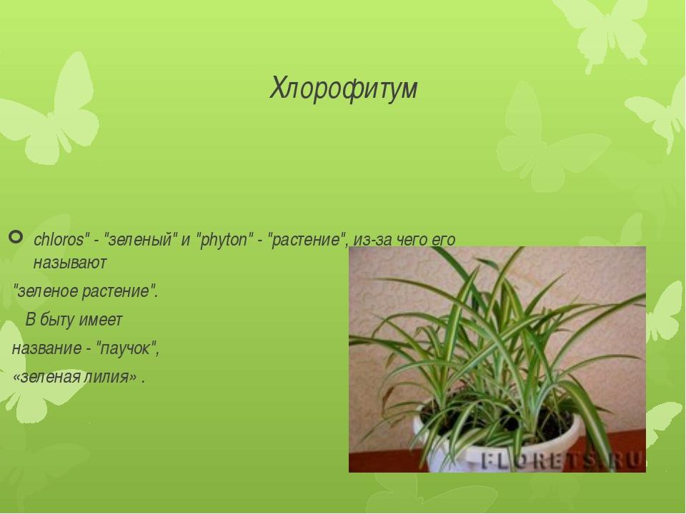 """Хлорофитум chloros"""" - """"зеленый"""" и """"phyton"""" - """"растение"""", из-за чего его назыв..."""