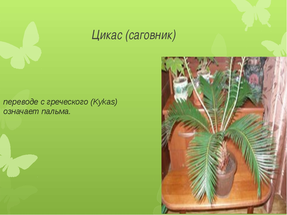 Цикас (саговник) переводе с греческого (Kykas) означает пальма.