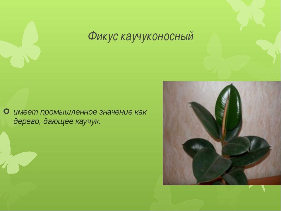 Фикус каучуконосный имеет промышленное значение как дерево, дающее каучук.