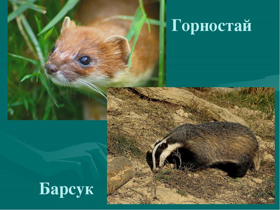 Горностай Барсук