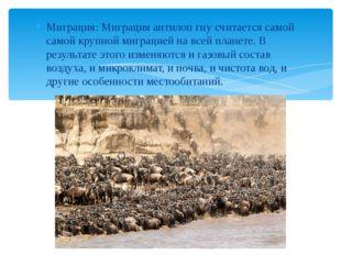 Миграция: Миграция антилоп гну считается самой самой крупной миграцией на все