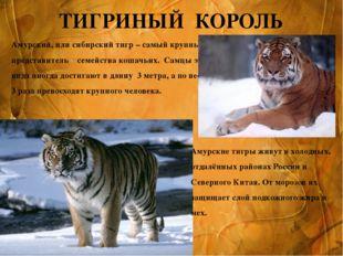 ТИГРИНЫЙ КОРОЛЬ Амурский, или сибирский тигр – самый крупный представитель се