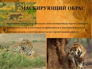 Выслеживая добычу, тигр использует свою маскирующую окраску, чтобы под прикры