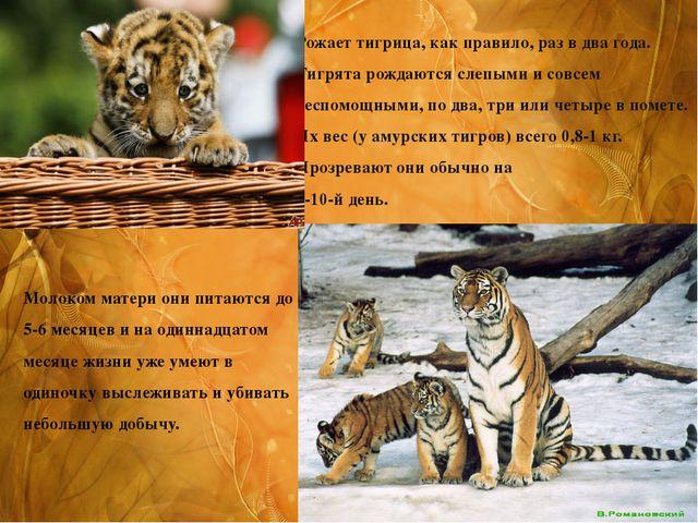 Рожает тигрица, как правило, раз в два года. Тигрята рождаются слепыми и совс...