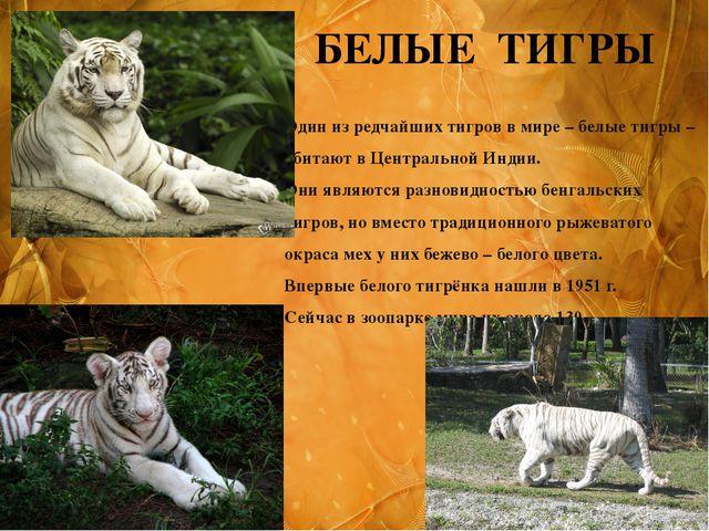 БЕЛЫЕ ТИГРЫ Один из редчайших тигров в мире – белые тигры – обитают в Централ...