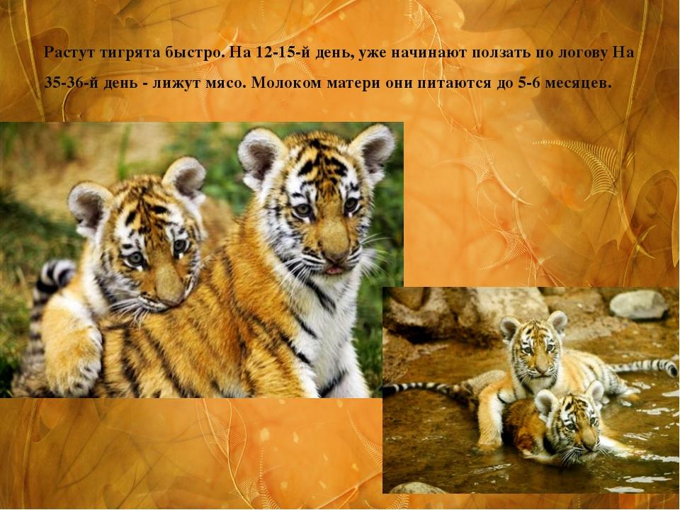 Растут тигрята быстро. На 12-15-й день, уже начинают ползать по логову На 35-...