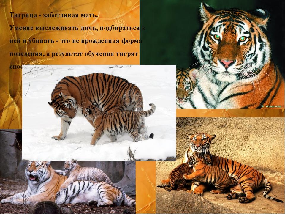 Тигрица - заботливая мать. Умение выслеживать дичь, подбираться к ней и убива...