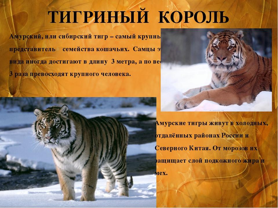 ТИГРИНЫЙ КОРОЛЬ Амурский, или сибирский тигр – самый крупный представитель се...