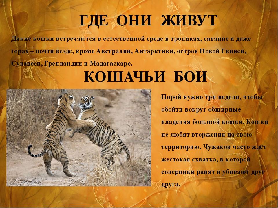 ГДЕ ОНИ ЖИВУТ Дикие кошки встречаются в естественной среде в тропиках, саванн...