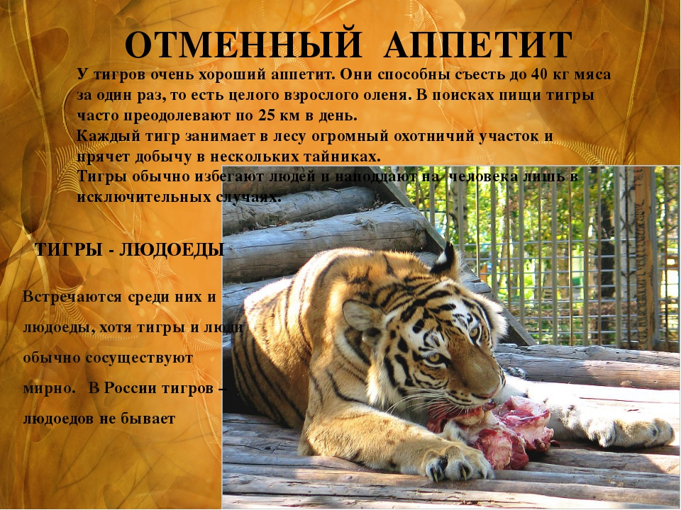 Встречаются среди них и людоеды, хотя тигры и люди обычно сосуществуют мирно....
