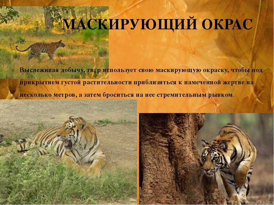 Выслеживая добычу, тигр использует свою маскирующую окраску, чтобы под прикры...