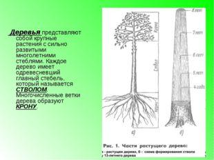 Деревья представляют собой крупные растения с сильно развитыми многолетними