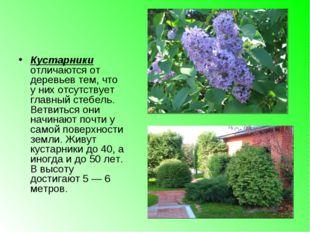Кустарники отличаются от деревьев тем, что у них отсутствует главный стебель.