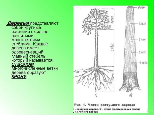 Деревья представляют собой крупные растения с сильно развитыми многолетними...