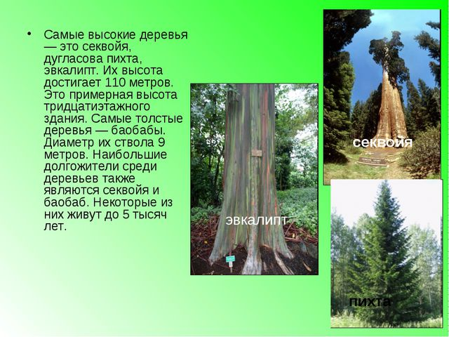 Самые высокие деревья — это секвойя, дугласова пихта, эвкалипт. Их высота дос...