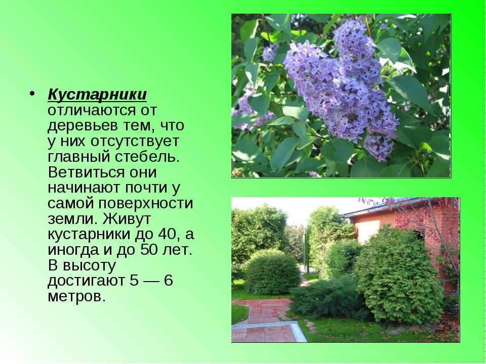Кустарники отличаются от деревьев тем, что у них отсутствует главный стебель....