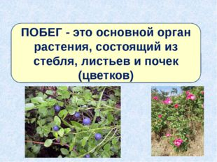 ПОБЕГ - это основной орган растения, состоящий из стебля, листьев и почек (цв