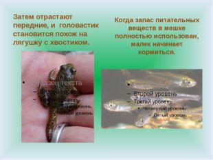Затем отрастают передние, и головастик становится похож на лягушку с хвостик