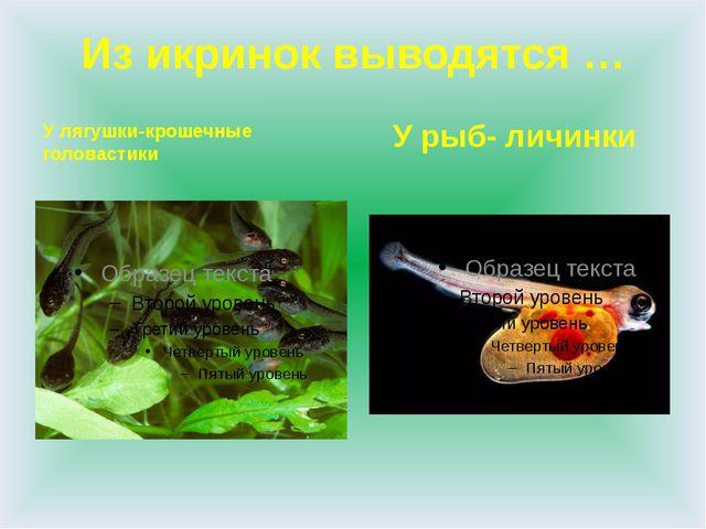 Из икринок выводятся … У лягушки-крошечные головастики У рыб- личинки
