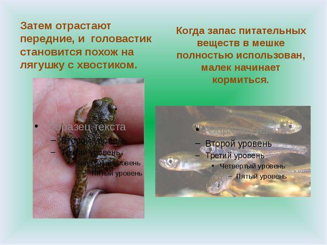 Затем отрастают передние, и головастик становится похож на лягушку с хвостик...
